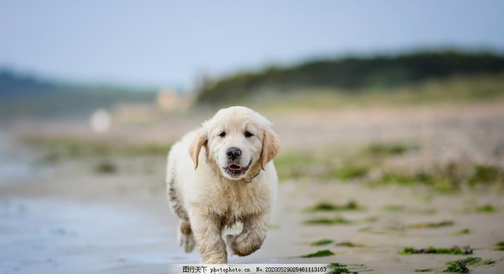 宠物狗狗照片拉布拉多,宠物照片,狗狗户外照片,拉布拉多照片,狗狗玩泥巴,宠物动物合集,摄影